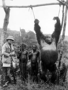 British Captain A. Gatti and two pygmies with a 500lb gorilla strung from a pole, which the captain shot in the Tchibinda forest in the Lake Kivu region, Democratic Republic of the Congo, circa 1930.