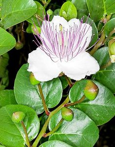 I've always loved capers, especially in a nice chicken picata. Here is what happens to capers when left in peace. Caper (Capparis spinosa). Flower and buds.