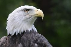 """""""Luke,"""" Carolina Raptor Center's eagle-in-training for the Democratic National Convention in Charlotte, September 1-6, 2012. Photo by Shari Lambeth."""