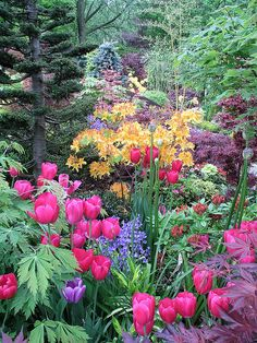 spring garden ::: Tulips in woods. Lorr