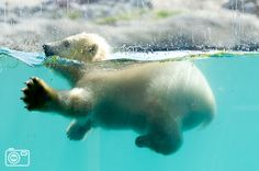Babybear Vicks, born on december 6th in a Dutch zoo takes his first plunge...