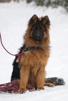 so beautiful ~ I love the fluff ;) bear, german shepherd