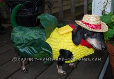 Corn on the Cob Costume for a Miniature Dachshund... Coolest Halloween Costume Contest