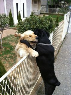 fenc, funny pictures, pet, friendship, hous, puppi, dog, black labs, animal