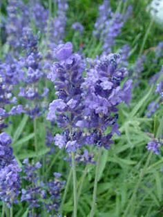 Xeriscaping Plants--Lavender