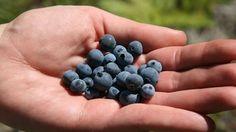 The fourth annual Blueberry Festival at New Harvest Park kicks off Thursday.