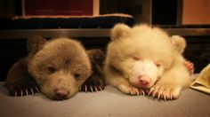 Sleepy bear cub siblings