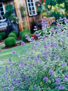 Bluebeard Shrub  Growing Conditions: Full sun and well-drained soil  Size: To 4 feet tall  Zones: 5-9