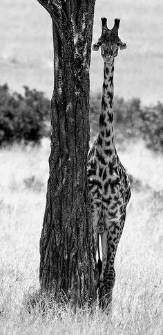 black & white, giraffe next to tree