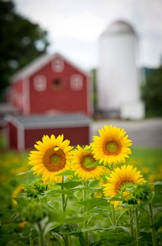 Sunflowers in the countryside