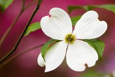 Flowering Dogwood: In late spring, small clusters of pale green flowers surrounded by white or pink bracts emerge, followed by clusters of bright red fruit and showy red fall foliage. Given well-drained soil and a little shade, it makes a lovely landscape tree, reaching up to 40 feet tall.   Photo: OGphoto/E+/Getty