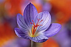 Plant fall crocuses now: The saffron crocus will bloom in 6 to 8 weeks; the spice can be harvested for cooking by removing the bright red stigmas at the center.   Photo: J S Sira/GAP Photos