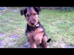 Training an Airedale puppy airedal puppi, airedale puppies