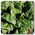 Organic Giant Winter Spinach