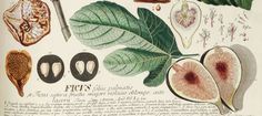 """""""Importance of the humble fig to humankind"""" -- Summary of an article that explores the relationship """"between figs and humans, which is maintained across species, continents and societies."""" archaeolog artifact, figheader1jpg 980440, card inspir, fresh fig, greet card, botanical prints, humbl fig, ancient archaeolog, kitchen"""