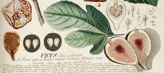 archaeolog artifact, figheader1jpg 980440, card inspir, fresh fig, greet card, botanical prints, humbl fig, ancient archaeolog, kitchen