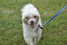 Jax is an adoptable Maltese Dog in Indiana, PA.  ...