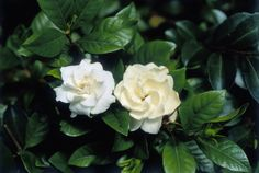 Gardenia by Harley Seaway.  Follow the photo-link to find the lists of heavy, subtle, and spicy scented flowers.
