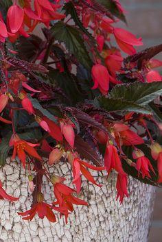 Bonfire Begonia Choc Red