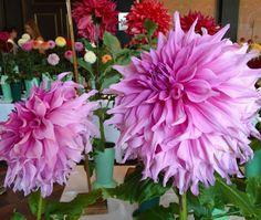 Enormous Dahlia flower.  Dinner plate dahlia. Philadelphia Dahlia show.  Longwood Gardens.