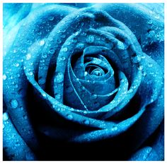 googl search, flower pictures, blue flowers, color, red roses, garden, beauti blue, blues, blue roses
