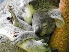 aww, animals, pet, national parks, koala bears, babi, gods creation, ador, sleep tight