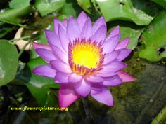 All+Types+of+Lily+Flowers | Different Types Of Water Lilies http://www.flowerspictures.org/flowers ...