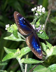Blue Crow Butterfly