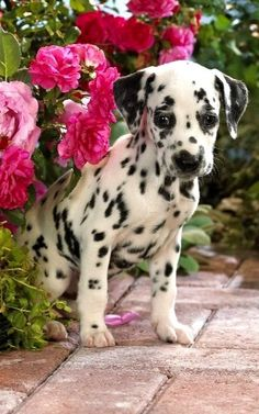 Dalmatian Puppy...I need another one! I have puppy fever!