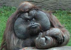 "Disgruntled orangutan says, ""You destroyed my habitat!"""
