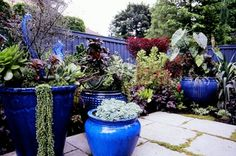 Cobalt blue Asian planters in Washington garden. Photo from Debra Prinzing.