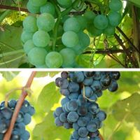 Grape varieties on pinterest for Table grapes zone 6