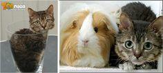 #MrPeeble #cat #chat #guinnessrecords Mr Peebles, le plus petit #chat du monde !