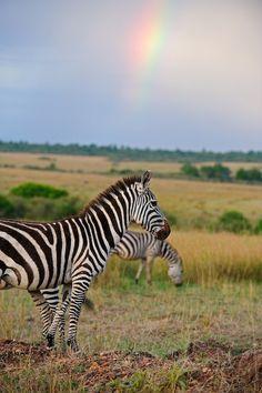 Zebra and rainbow (by dickysingh)