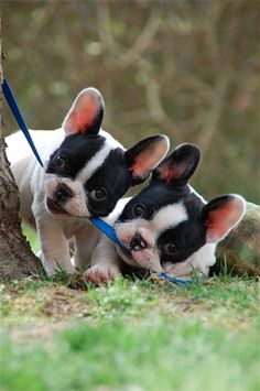 Teamwork....cuter with puppies!