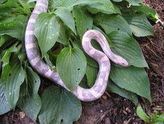 Corn Snake - Lavender Morph