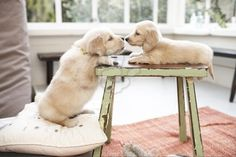 golden retriever + golden dachshund :]