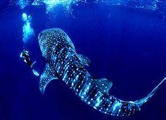 Whale Shark.  Donsol, Sorsogon Philippines