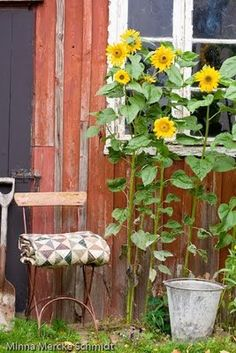 I will plant some by my chicken coop to make me, and the hens, smile!    Blomsterverkstad: Solros * Sunflower