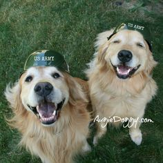 Golden retriever soldiers Augie and Ti, reporting for duty!