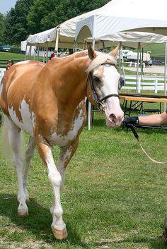 Sato, Palomino Sabino Purebred Thoroughbred Stallion