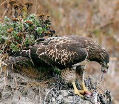 http://upload.wikimedia.org/wikipedia/commons/7/7c/Hawk_eating_prey.jpg