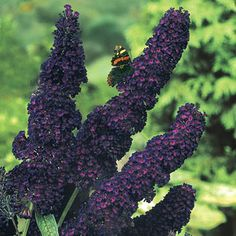 Black Knight Butterfly Bush | Michigan Bulb Company