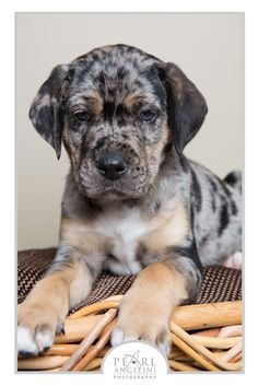 "Catahoula <a class=""pintag searchlink"" data-query=""%23ManitobaMutts"" data-type=""hashtag"" href=""/search/?q=%23ManitobaMutts&rs=hashtag"" rel=""nofollow"" title=""#ManitobaMutts search Pinterest"">#ManitobaMutts</a>"
