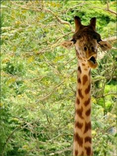 BEST collection of giraffe photos