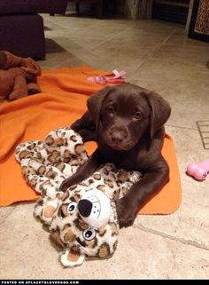 Gorgeous Chocolate Labrador Puppy