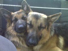 German Shepherd love :)