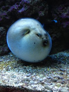 Stars and stripes puffer saltwater fish pinterest for Dog face puffer fish