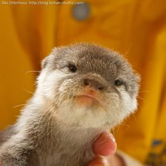baby otter old man face