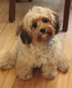 cavapoo!!! these things are little teddy bears :) a mix between king Charles cavalier and a poodle! no shedding. great family dog!